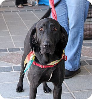Labrador Retriever/Coonhound Mix Dog for adoption in Richmond, Virginia - Molly