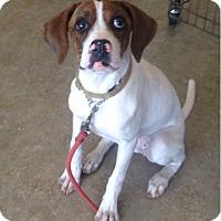 Adopt A Pet :: Darcy pup - Pompton Lakes, NJ