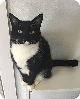 Domestic Shorthair Cat for adoption in Greensburg, Pennsylvania - Slick