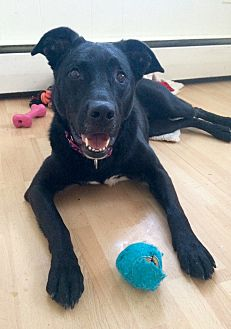Labrador Retriever Mix Dog for adoption in Manchester, Connecticut - Annabelle in CT