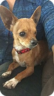 Chihuahua Dog for adoption in Vacaville, California - Elliot