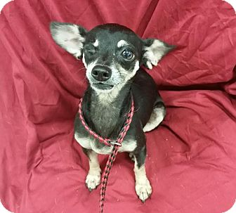 Chihuahua Mix Dog for adoption in Saddle Brook, New Jersey - Louisa