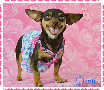Chihuahua Mix Puppy for adoption in PHOENIX, Arizona - Demi