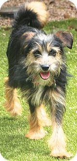 Terrier (Unknown Type, Small) Mix Dog for adoption in Bedminster, New Jersey - Spice