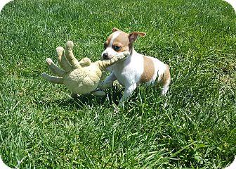 Rat Terrier Puppy for adoption in Decatur, Indiana - Zinnia