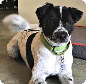 English Springer Spaniel/Border Collie Mix Dog for adoption in Bradenton, Florida - Dusty