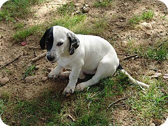 Basset Hound Mix Puppy for adoption in Staunton, Virginia - titan
