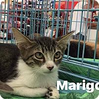 Adopt A Pet :: Marigold - Mansfield, TX