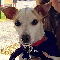 Adopt A Pet :: Daphne - Springfield, MO