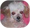 Poodle (Toy or Tea Cup) Dog for adoption in Hamilton, Ontario - Buddy
