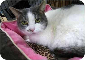 Domestic Shorthair Cat for adoption in Toronto, Ontario - Phyllis