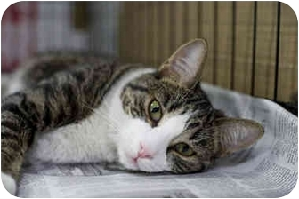 Domestic Shorthair Cat for adoption in Brooklyn, New York - Beatrice
