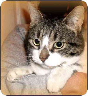 Domestic Shorthair Cat for adoption in Rochester, Michigan - Ace