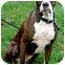 Photo 1 - Boxer Mix Dog for adoption in Sacramento, California - Sweety Pie loving
