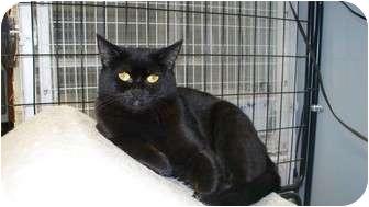 Domestic Shorthair Cat for adoption in Kingston, Washington - Hazel