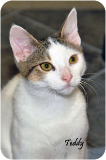 Domestic Shorthair Kitten for adoption in Chester, Maryland - Teddy