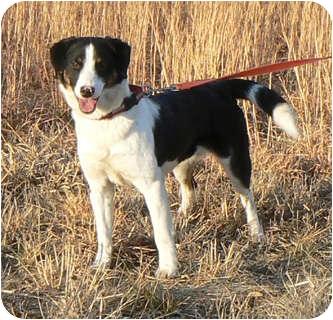 Border Collie Mix Dog for adoption in St. James, Missouri - Queenie