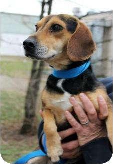 Dachshund/Beagle Mix Dog for adoption in Buffalo, New York - Dash: 1 to 2 years