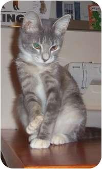 Domestic Mediumhair Kitten for adoption in Orlando, Florida - Kitten2