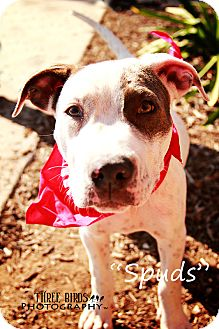 American Pit Bull Terrier Puppy for adoption in San Diego, California - Spuds