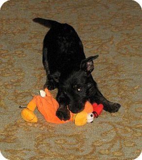 Scottie, Scottish Terrier/Miniature Pinscher Mix Puppy for adoption in Pulaski, Tennessee - Kid Tested - Mom Approved!!!
