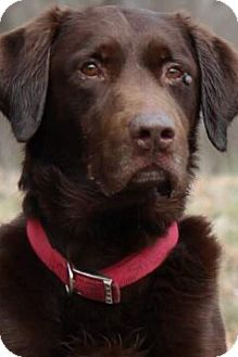 Labrador Retriever Dog for adoption in Hagerstown, Maryland - Storm