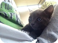 Domestic Shorthair Kitten for adoption in Tampa, Florida - Storm