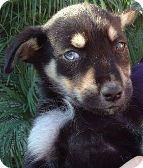German Shepherd Dog/Australian Shepherd Mix Puppy for adoption in Long Beach, California - Daisy