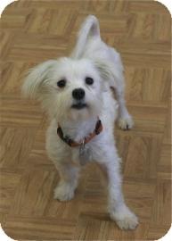 Maltese Mix Dog for adoption in Oak Park, Illinois - Tennyson