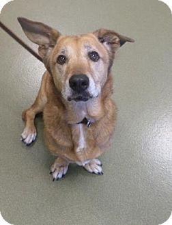 Basset Hound/Retriever (Unknown Type) Mix Dog for adoption in Harrisonburg, Virginia - Marcie McNugget