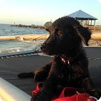 Adopt A Pet :: Fia - New Canaan, CT