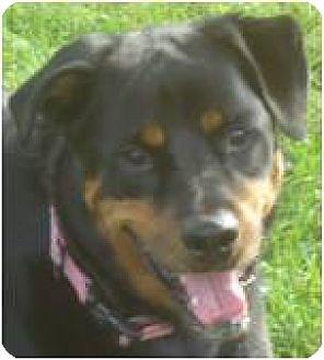 Rottweiler Mix Dog for adoption in Beachwood, Ohio - Sheba