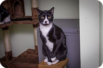 Domestic Shorthair Cat for adoption in Chicago, Illinois - Chris