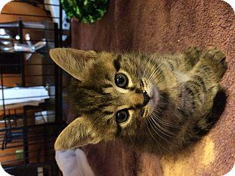 Domestic Shorthair Kitten for adoption in Alamo, California - Annie