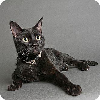 Domestic Shorthair Cat for adoption in Wilmington, Delaware - Binx