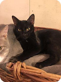 Bombay Cat for adoption in Baltimore, Maryland - Jordan
