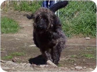 Irish Wolfhound/English Sheepdog Mix Dog for adoption in Millerton, Pennsylvania - Marly