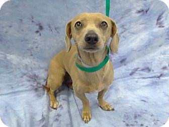 Dachshund Mix Dog for adoption in Pico Rivera, California - Bobbie Rae