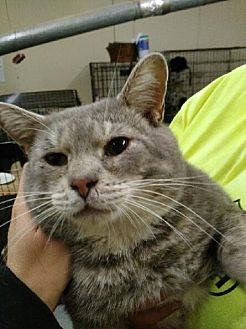 Domestic Shorthair Cat for adoption in East McKeesport, Pennsylvania - Sam
