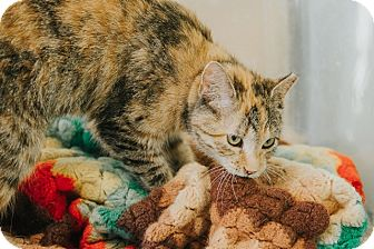 Domestic Shorthair Cat for adoption in Indianapolis, Indiana - Maddy