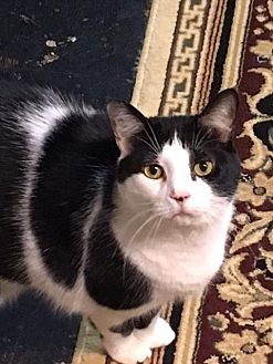 Domestic Shorthair Cat for adoption in Knoxville, Tennessee - Daisy