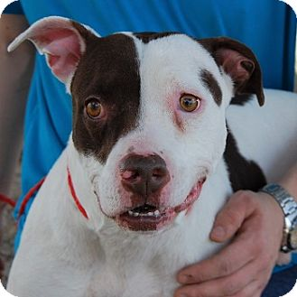 American Staffordshire Terrier/American Pit Bull Terrier Mix Dog for adoption in Las Vegas, Nevada - O'Dell