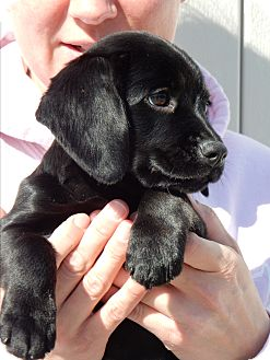 Labrador Retriever Mix Puppy for adoption in Long Beach, New York - Maggie