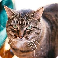 Domestic Shorthair Cat for adoption in Brimfield, Massachusetts - Perrywinkle -$10 - Spirit Cat