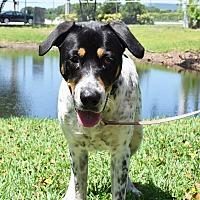 Adopt A Pet :: Bulldozer - Boca Raton, FL
