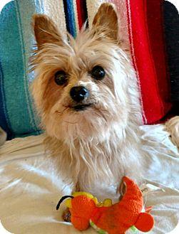 Yorkie, Yorkshire Terrier Dog for adoption in West Linn, Oregon - Max