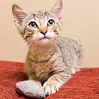 Adopt A Pet :: Squirrel - Chicago, IL