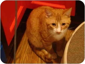 Domestic Shorthair Cat for adoption in Muncie, Indiana - Weezy