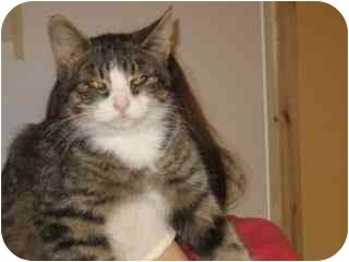 Domestic Shorthair Cat for adoption in Libby, Montana - Ella