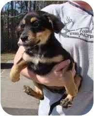 Beagle/Shepherd (Unknown Type) Mix Puppy for adoption in Baltimore, Maryland - Lyric